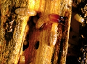 Τερμίτες του Υγρού Ξύλου