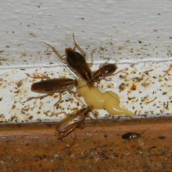 Είδη κατσαρίδας