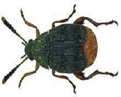 σκόρος τροφίμων Acanthoscelides obtectus