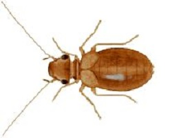 Liposcelis-bostrychophila