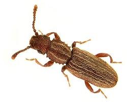 σκόρος τροφίμων Oryzaephilus-surinamensis