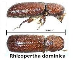 σκόρος τροφίμων Rhizopertha-dominica