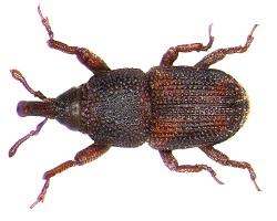 Sitophilus-oryzae