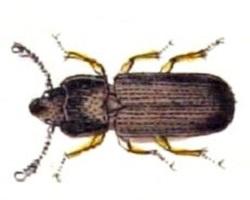 Tenebroides-mauritanicus