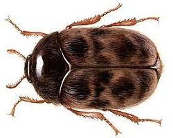 σκόρος τροφίμων Trogoderma-Granarium