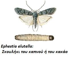 Ephestia elutella, Σκουλήκι του καπνού ή του κακάο