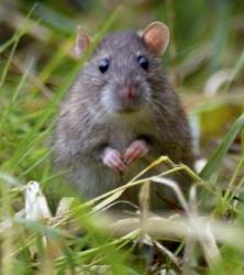 Αρουραίοι και ποντίκια του κήπου και του αγρού