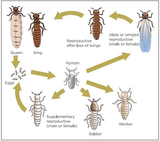 κύκλος ζωής των τερμιτών
