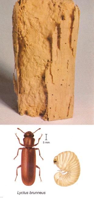 Lyctus brunneus