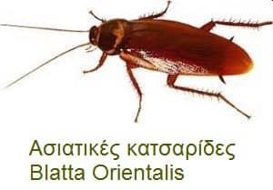 Ασιατικές κατσαρίδες – Blatta Orientalis