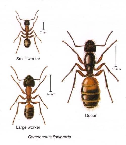 Μυρμήγκια ξύλου, Camponotus