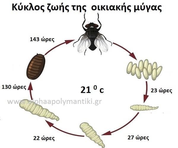 Κύκλος ζωής οικιακής μύγας