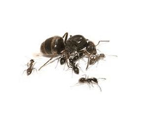 Μαύρο μυρμήγκι