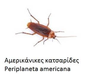 Αμερικάνικες κατσαρίδες - Periplaneta americana