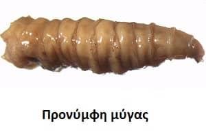 Προνύμφη οικιακής μύγας